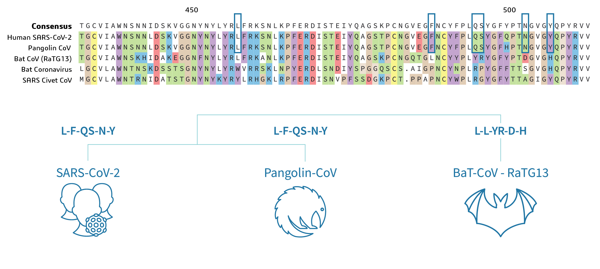 Figure 2a: Multiple Sequence alignment of Spike protein of Human, Bat and Pangolin SARS-CoV-2. Key residues for Receptor binding in blue boxes and cartoon below (2b).