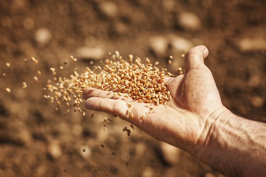 sower's hand with wheat seeds