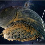 Crysomallon Squamiferum (Deep Sea Snail) Courtesy MIT