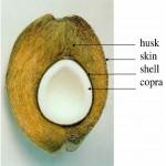 Sliced vew of a Coconut (courtesty of Blekinge Institute of Technology)